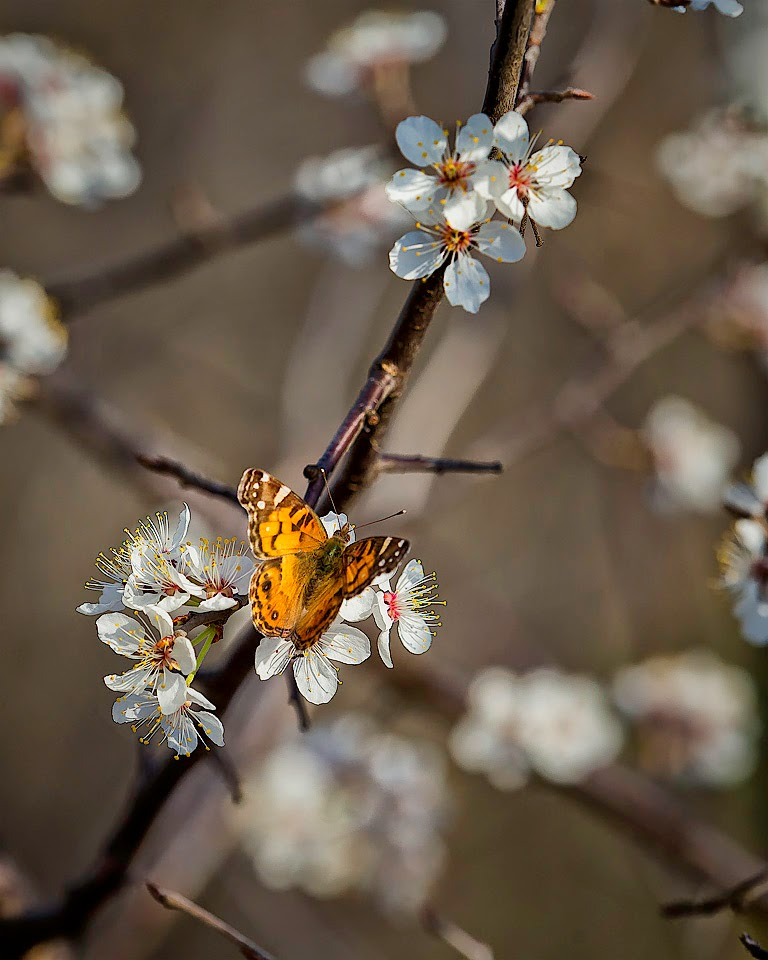 Painted Lady Butterfly on Wild Plum