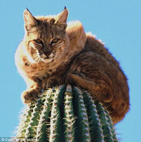 Cat stuck up a Cactus