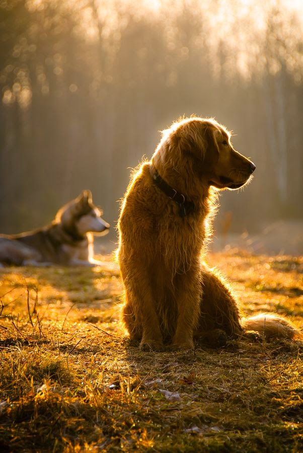 Cute Golden retrievers  Morning glory by Layla