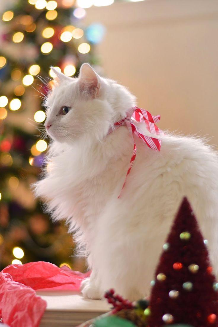 Kumpulan Gambar Kucing Anggora Cantik Dan Lucu Terbaru 2018