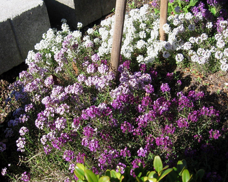 Алиссум цветы описание и фото