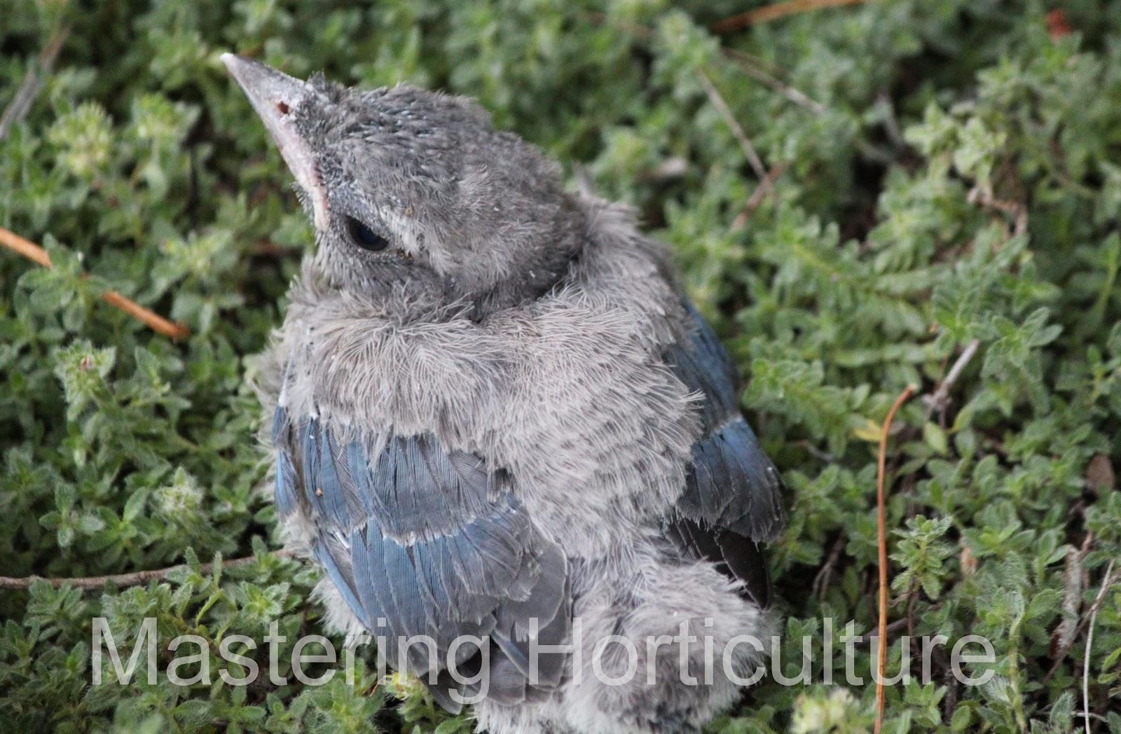 Baby Blue Jay Bird blue jays teach the babies