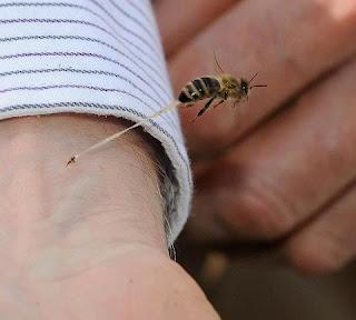لماذا تموت النحلة القرصة