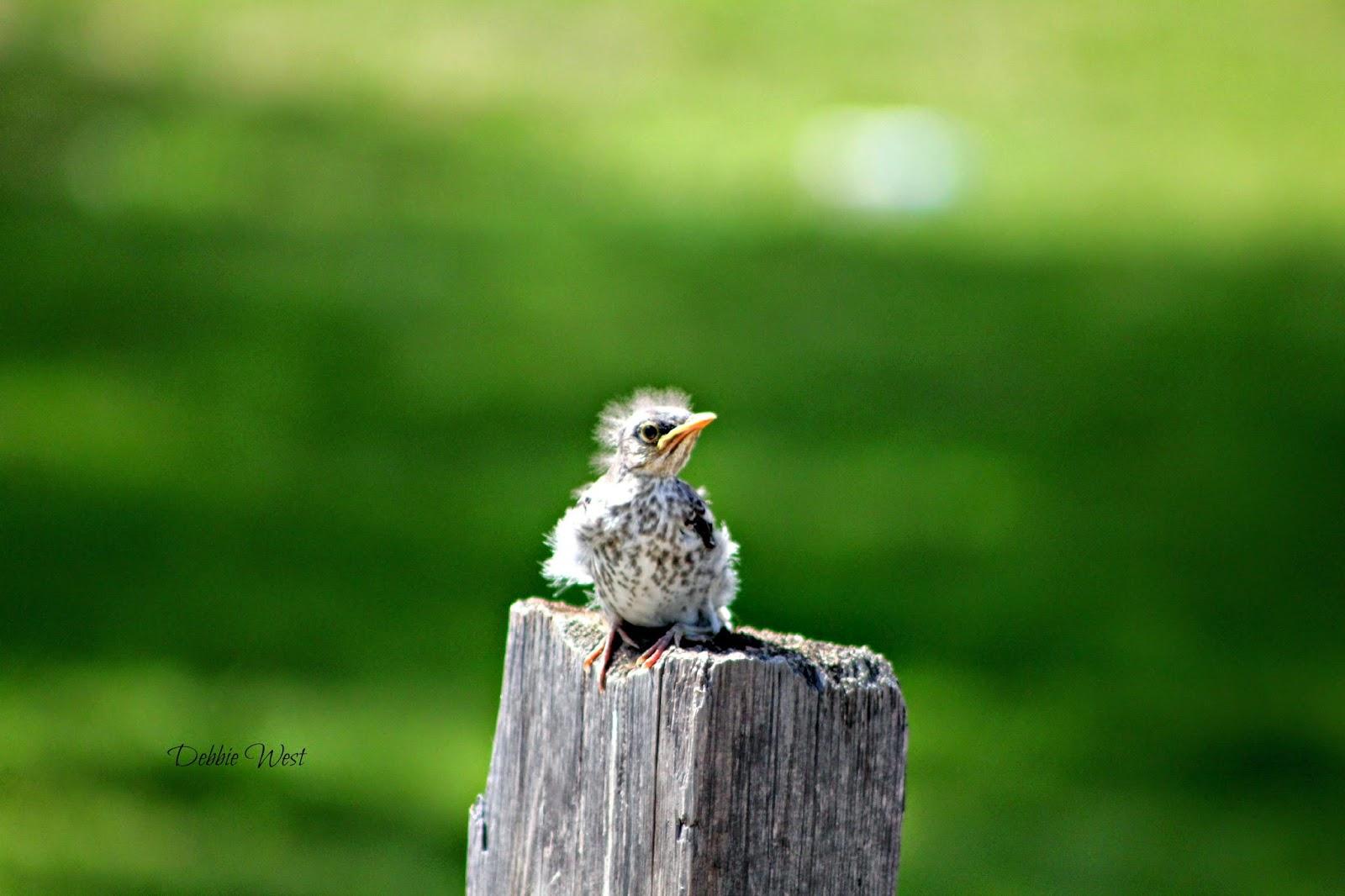 a baby mocking bird