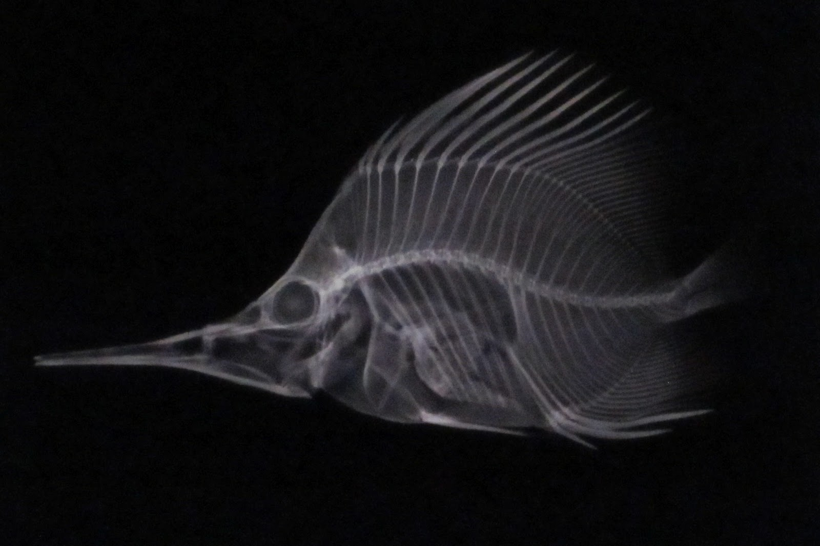 Displaying 19> Images For - X Ray Fish...