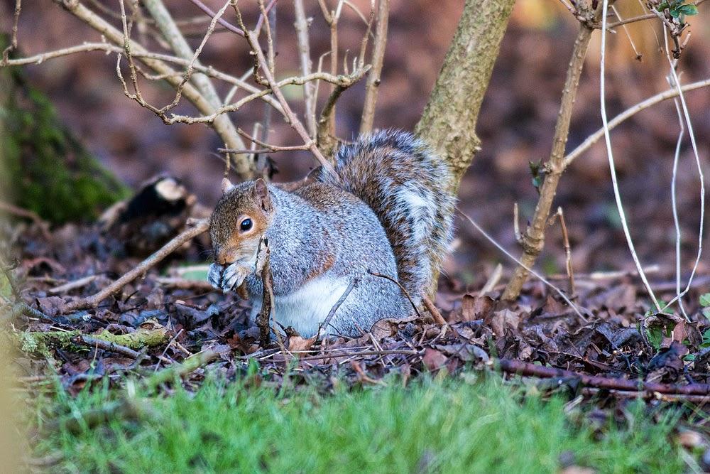 Grey Squirrel - Manor Farm, Milton Keynes