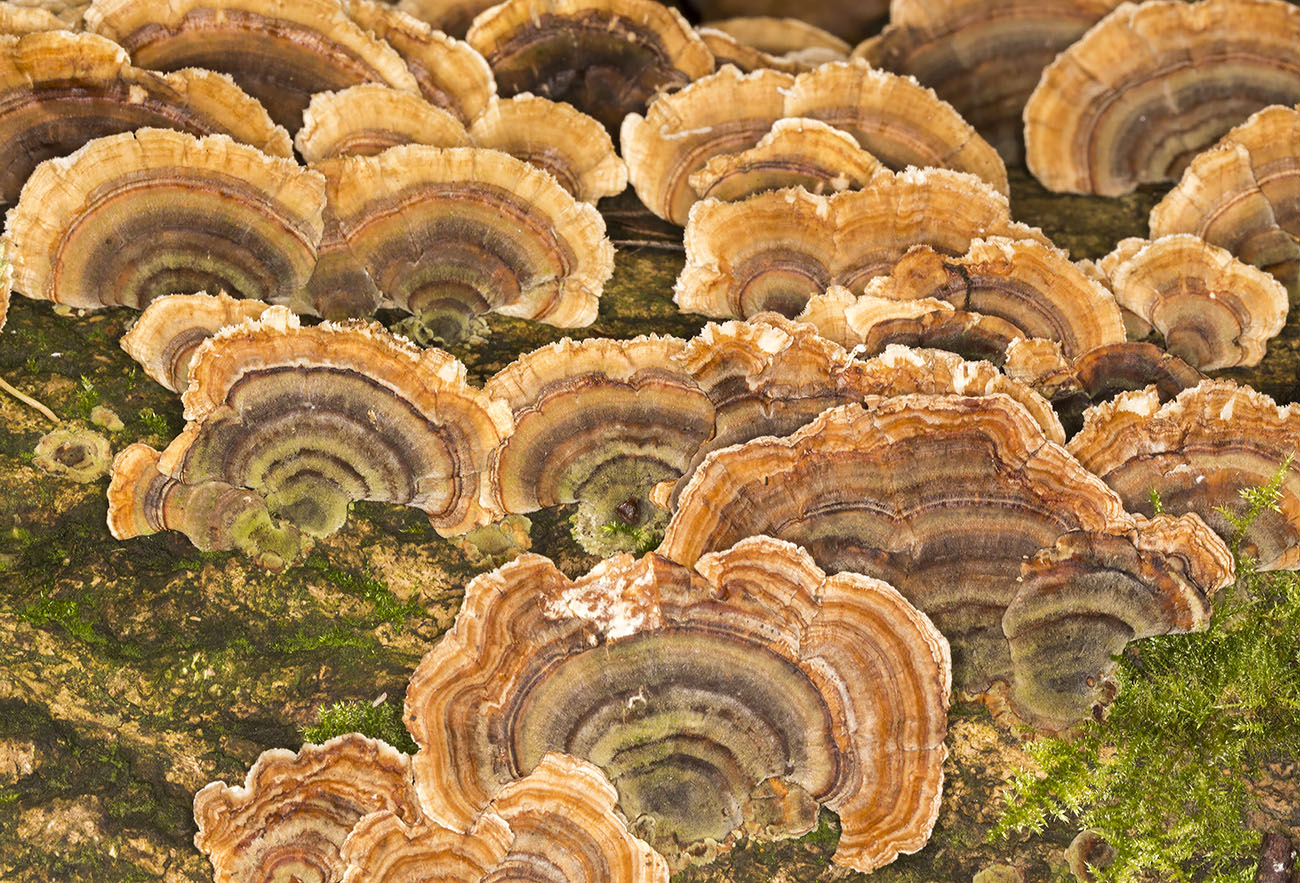 Trametes versicolor, Turkeytail   High Elms, 26 November 2013.