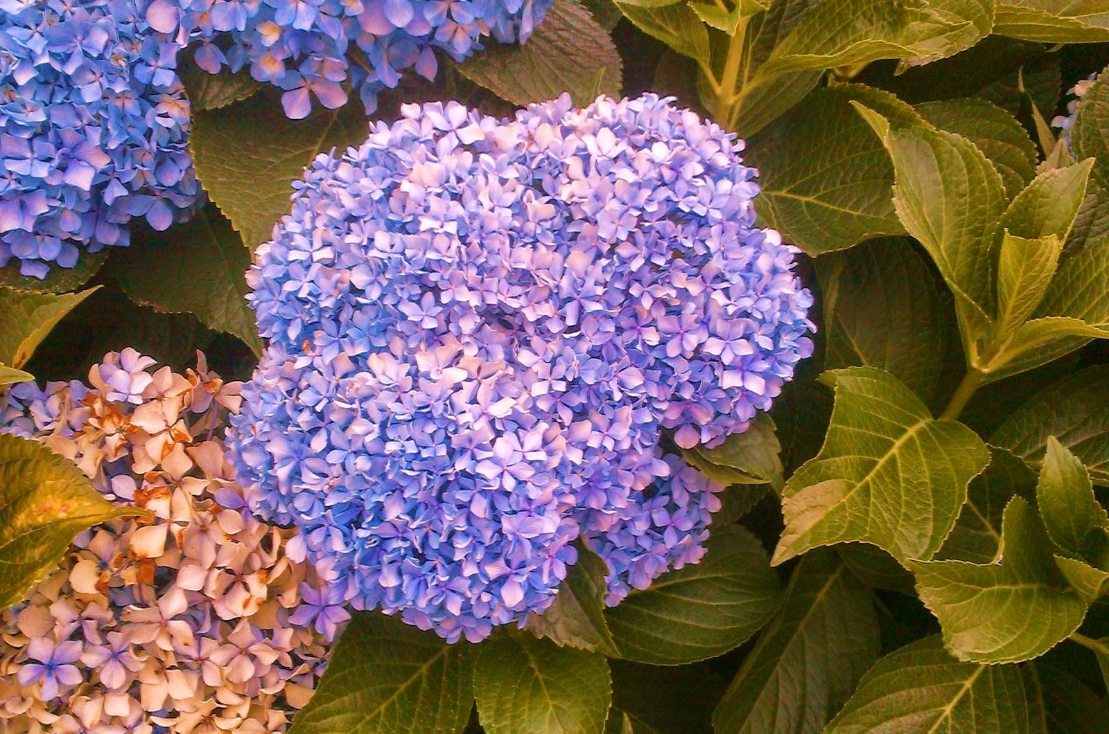 Por todo ello es una planta ha tener en cuenta en el - Hortensias cuidados poda ...