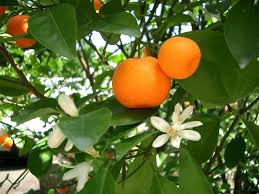 Arandanos en Copas de Naranja