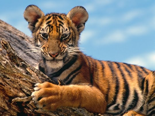 Free desktop background wallpapers only cute tiger cubs desktop only cute tiger cubs desktop wallpapers thecheapjerseys Image collections