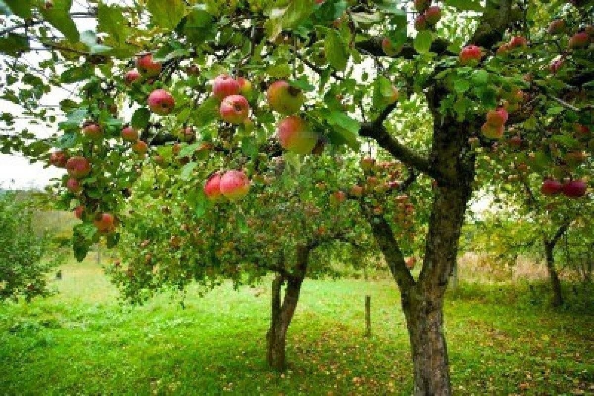 Arte y jardiner a manzanas silvestres y manzanas de sidra for Arboles de jardin de hoja caduca