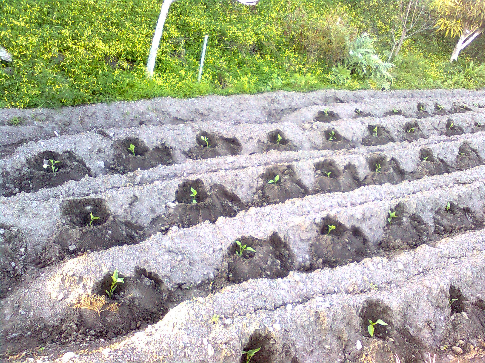 Diario de un campesino siembra de pimientos for Plantar pimientos y tomates