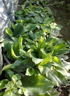 Ulam-ulaman dan Sayur-sayuran Kampung