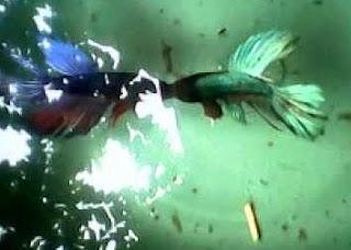 Gambar ikan Cupang lagi pelaga
