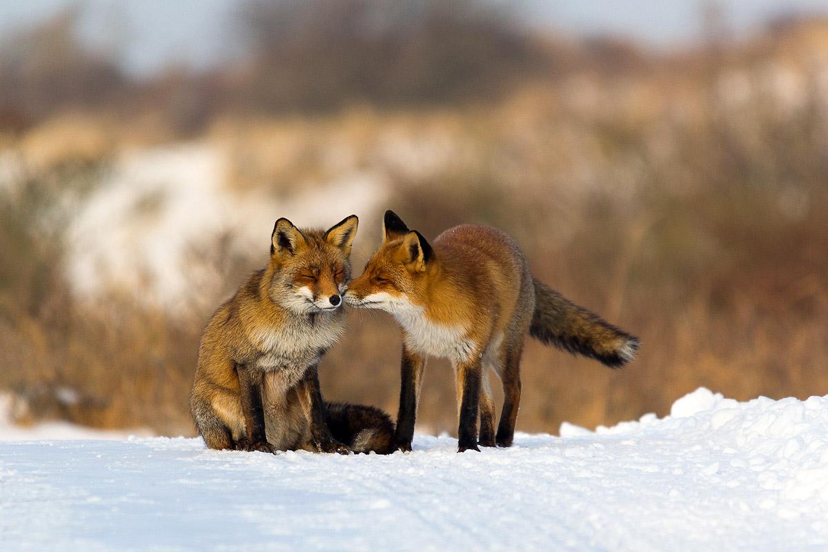Knuffelende vossen