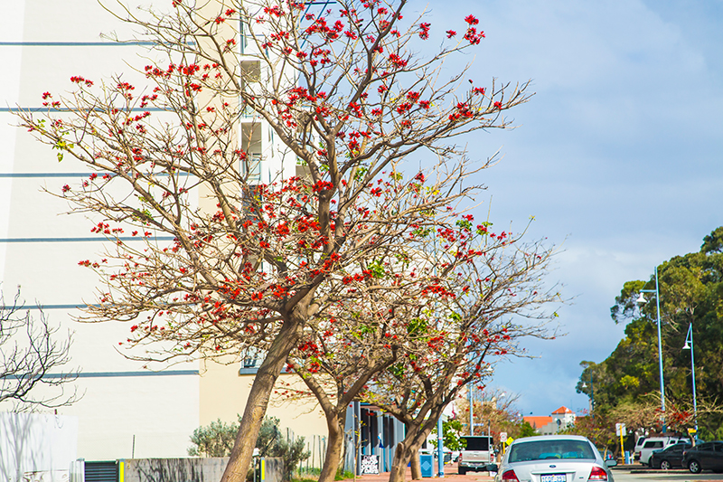 CrystalPhuong- Singapore Travel Blog- Red Flowering Gum tree in Western Australia