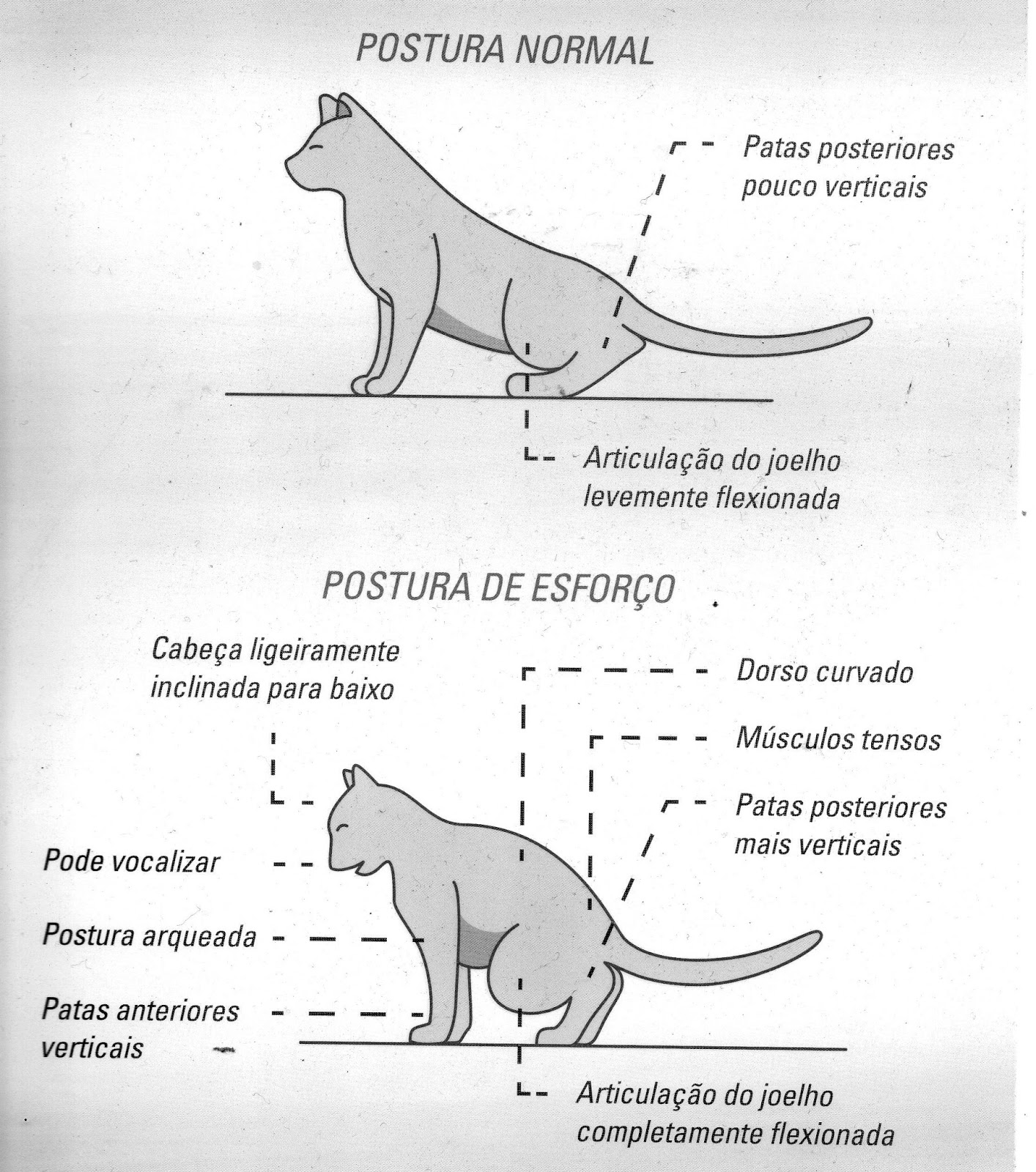 Fantástico Músculos Anatomía Gato Regalo - Imágenes de Anatomía ...