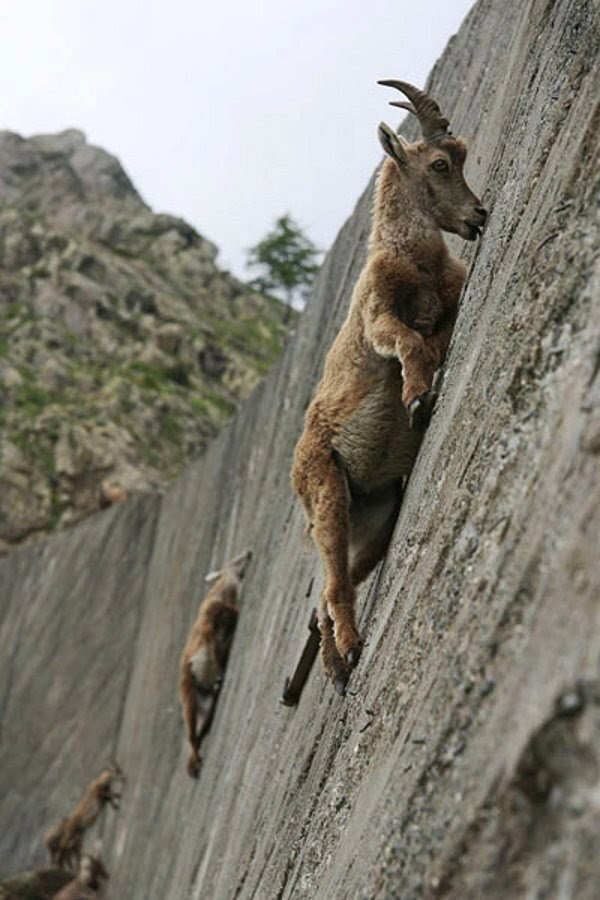 Funny animals of the week - 3 January 2014 (40 pics), mountain goat climbs a hill