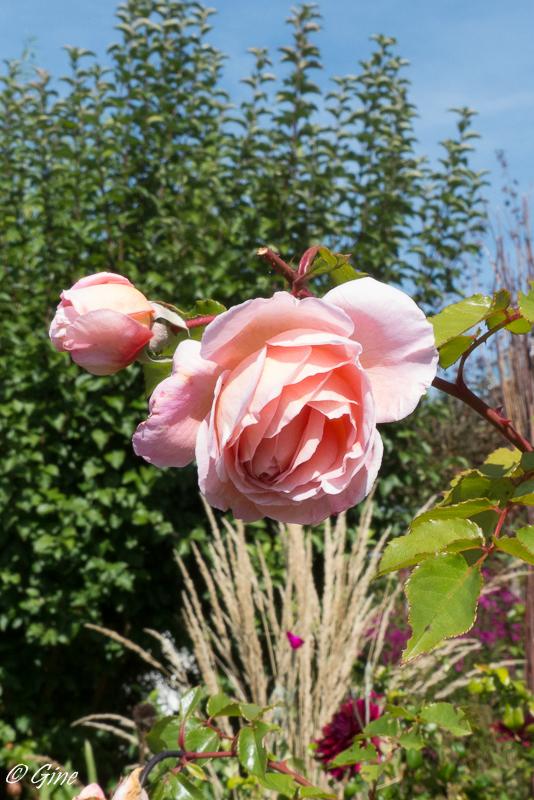 Au jardin de gine les roses cette ann e - Deplacer un rosier ...