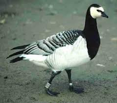 scared goose