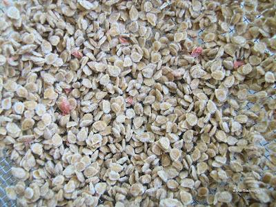 Κατηγορίες σπόρων-ποικιλίες και υβρίδια
