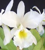 C. gaskeliana alba