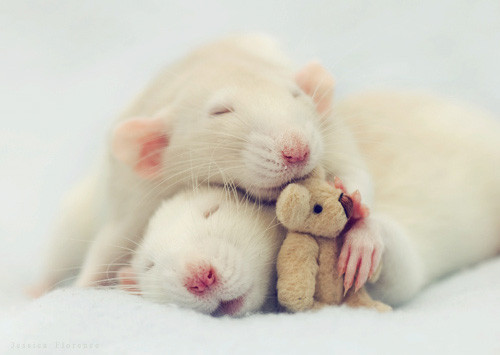 Cute Mouse Animal Pictures