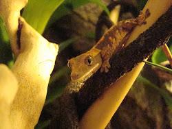My Crazy Gecko