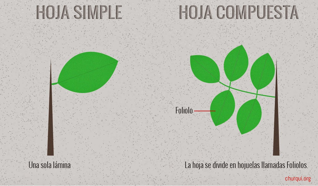 Taxonomia biologia for Tipos de arboles y su significado
