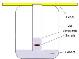 The solvent ascends or travels up the chromatography paper.