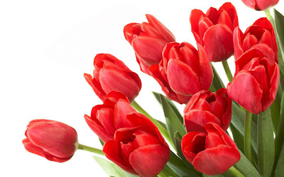 Tulips HD Wallpapers