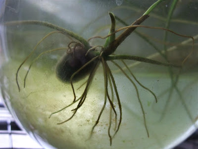 lotus seed sprouting, spreading roots in water, mud