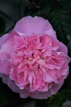 Mary Rose / David Austin