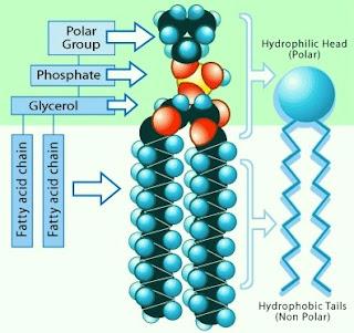 phospholipid