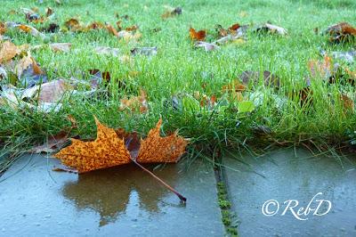 I förgrunden ett ensamt höstlöv, i bakgrunden gräsmatta med många löv. foto: Reb Dutius