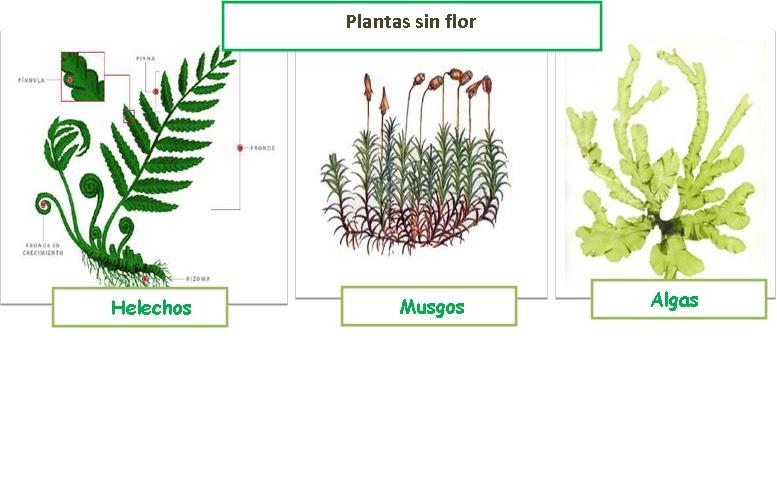 Estudio de clases clases demostrativas for Plantas sin semillas