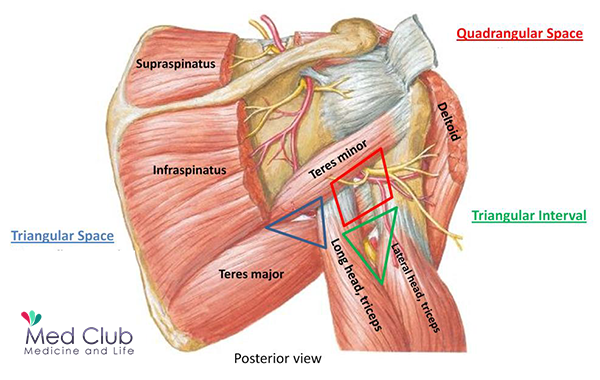The Anatomical Spaces Betwwen Scapula And Humerus Triangular And