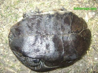 Plastrón de un adulto de Acanthochelys spixii