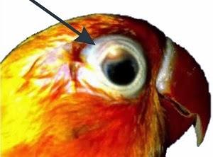 Cara Mengobati Sakit Mata Pada Burung Lovebird Termudah Terlengkap