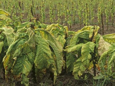 TABACUM (Nicotiana Tabacum. Tabaco)