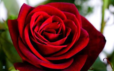 Red Rose photos
