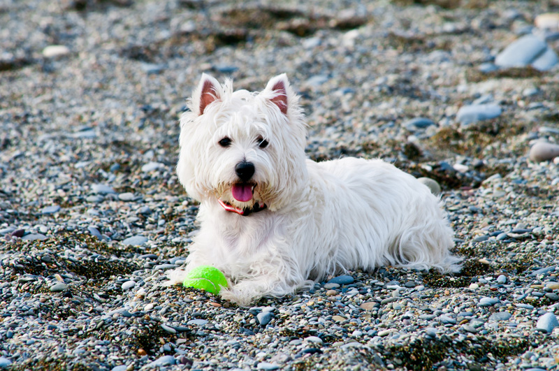 A cute white terrier laying on the beach, looking at the camera