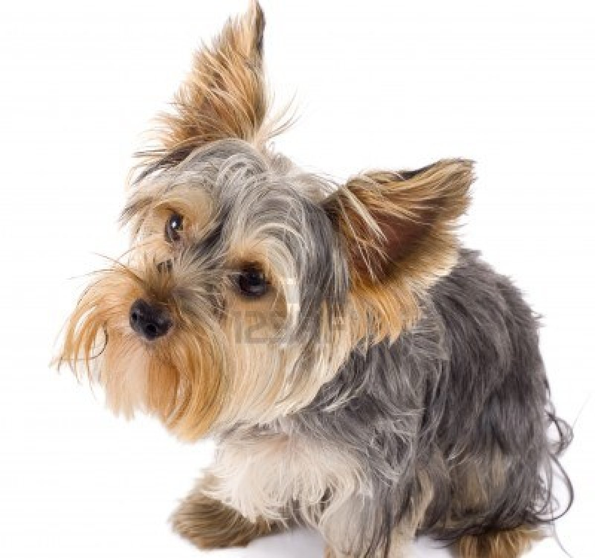 Black And White Yorkie Dogs - newhairstylesformen2014.com