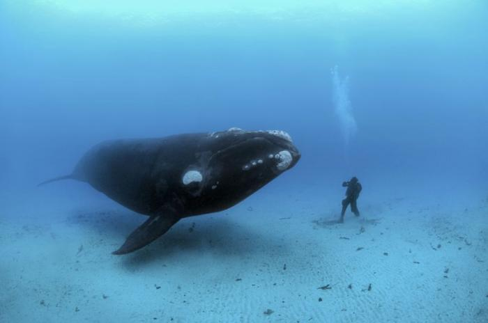 Excellentcoolpics the blue whale largest creature on earth