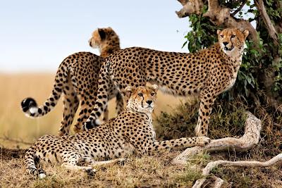 Leopardos en la sabana de Africa son bonitos felinos