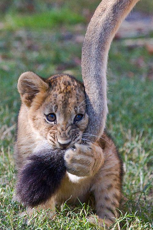 Cute Lion breed