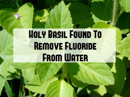 http://themindunleashed.org/2014/02/tulsi-plant-can-used-remove-fluoride-drinking-water.html