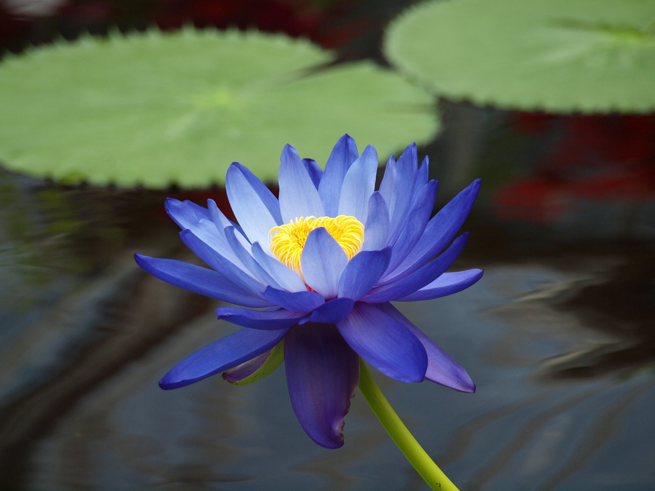 Dark Blue Water Lilies Painting