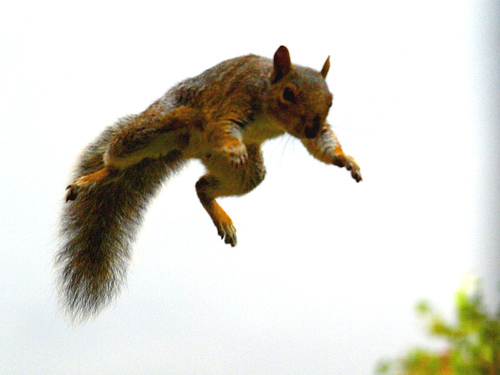 red jump fly squirrel - photo #2