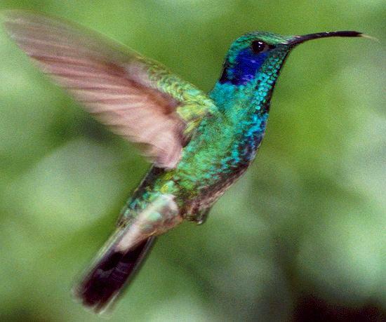 Animal Colibri